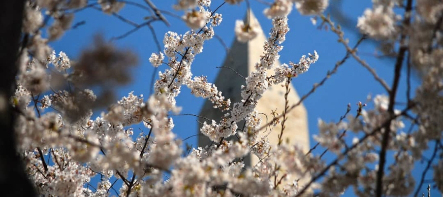 Washington Monument seen through cherry blossoms. (Photo by Adam Schrader)