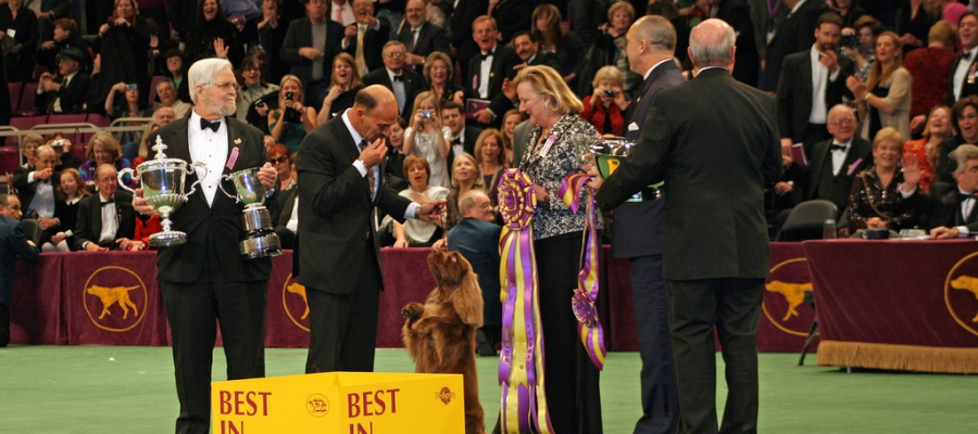 Stump is named Best in Show at the Westminster Kennel Club Dog Show. (Photo by Kjunstorm, used under Creative Commons)